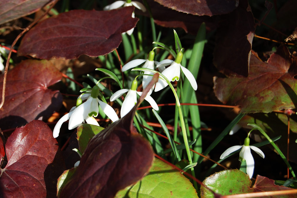 Geophyten vom Frühling bis in den Winter [Foto GMH Banse]