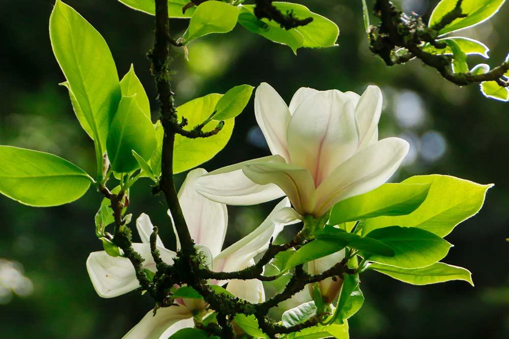 Magnolien im kleinen Garten [GBV Foto]