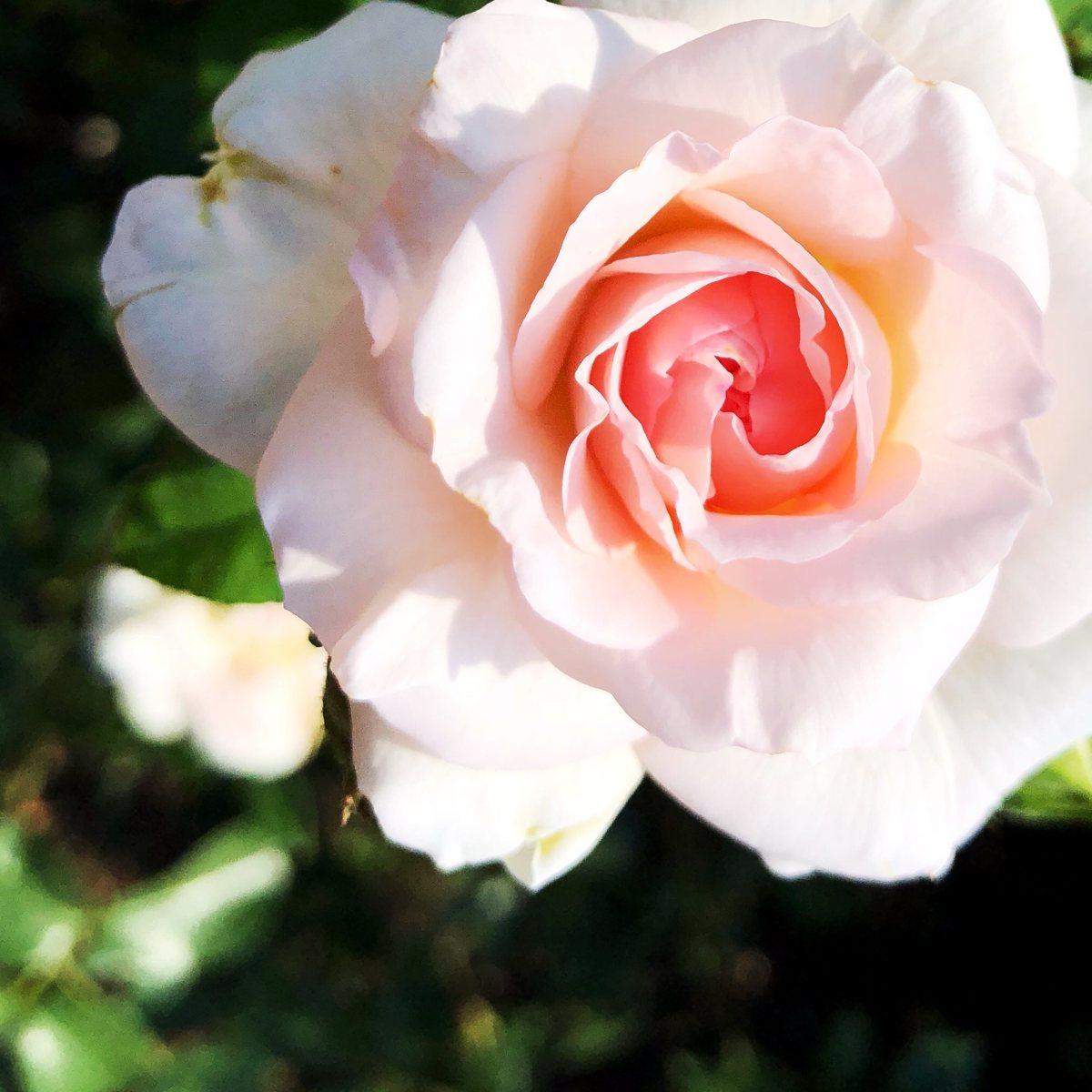 Rosen im Herbst pflanzen [GTD Foto]