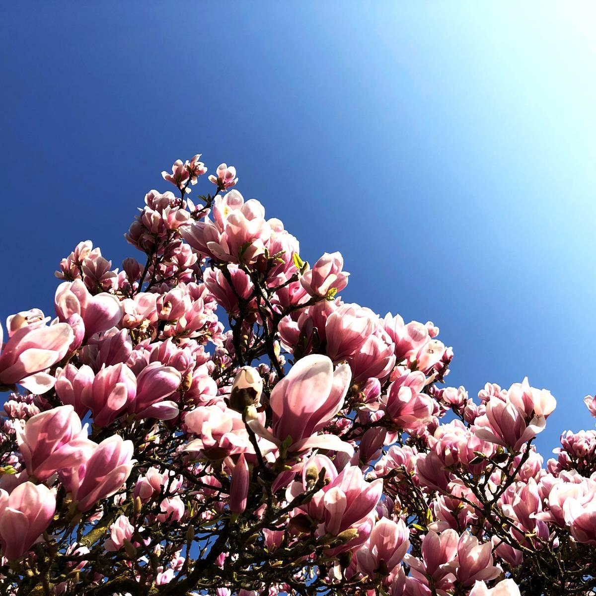 Magnolien auch im kleinen Garten [GTD Foto]